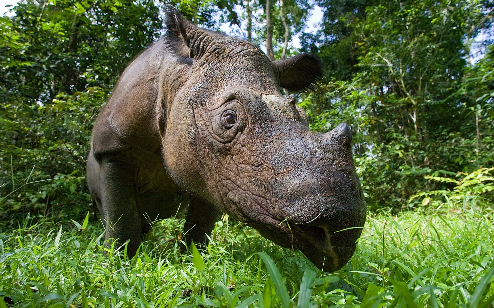 Sumatran Rhinoceros Rhino Sumatran Rhino Sanctuary, Way Kambas National Park, Indonesia Rain Forest Tropical Animals