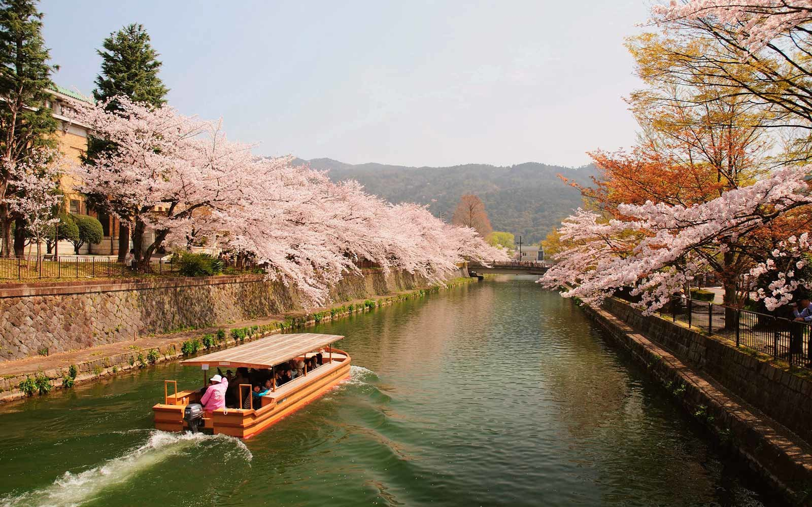Cherry Blossoms on the River, Kyoto, Japan