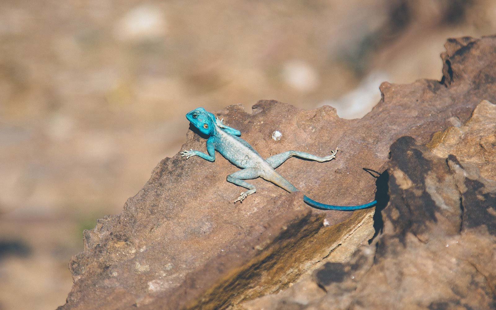 From Dana to Petra, 6 Days on The New Jordan Trail lizard wildlife