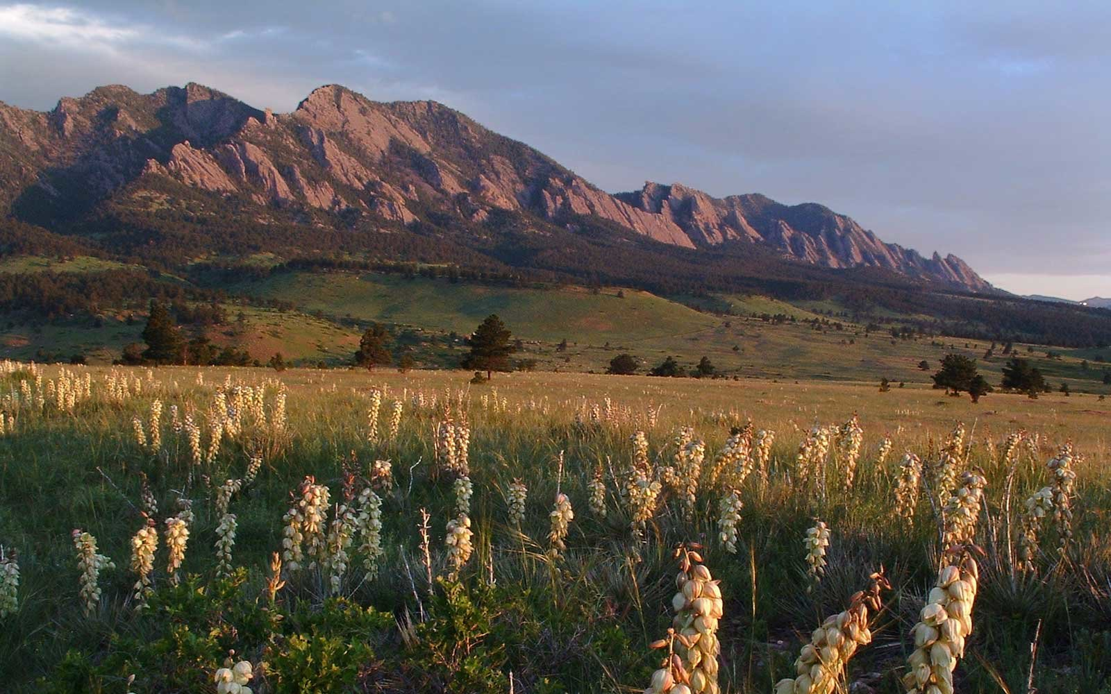 Wild yucca plants in bloom during a spring Boulder, Colorado sunrise