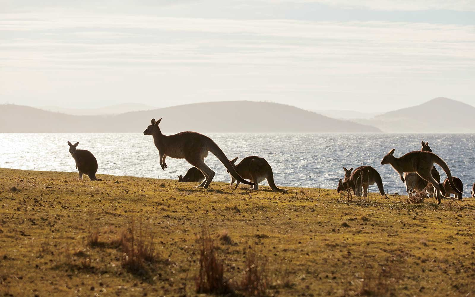 Kangaroos on the remote Maria Island, in Tasmania, Australia