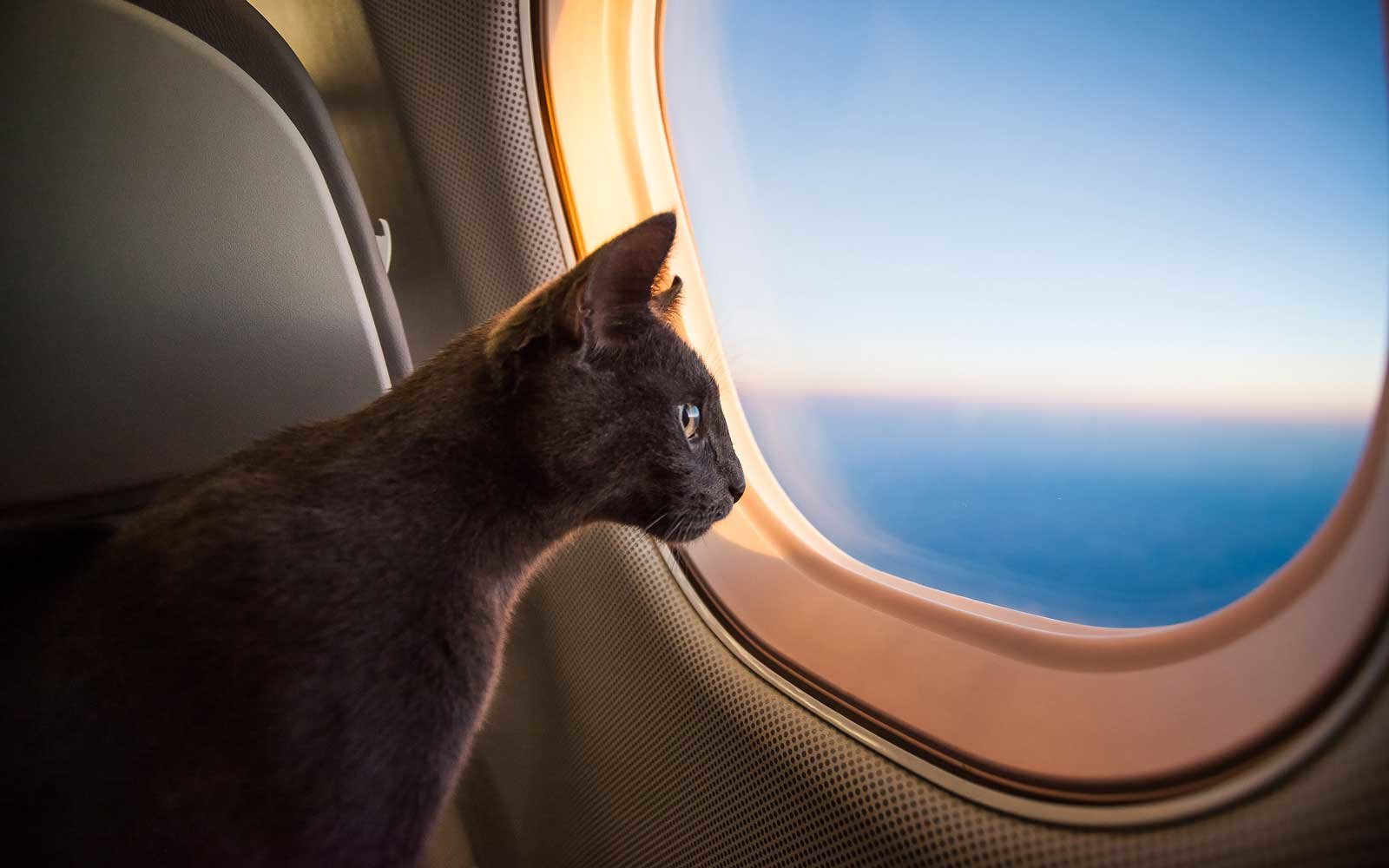 Cat on an airplane