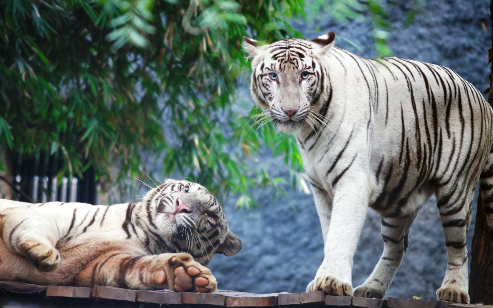 White Tigers In Forest