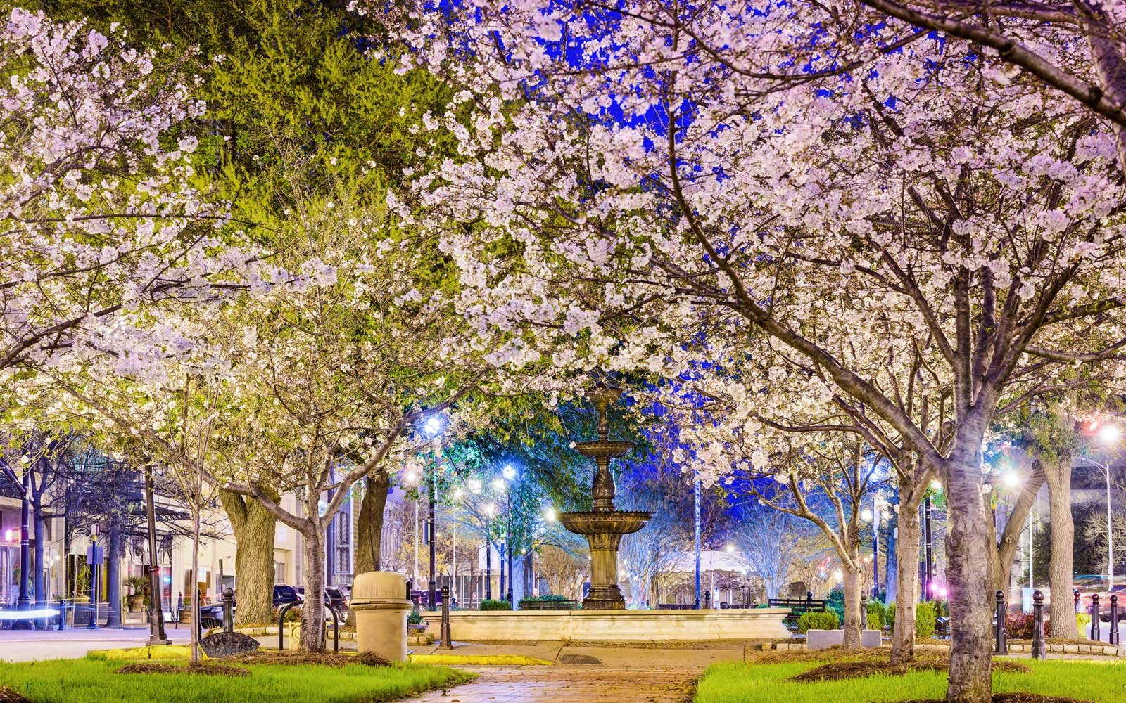 Cherry blossoms blooming in Macon, Georgia