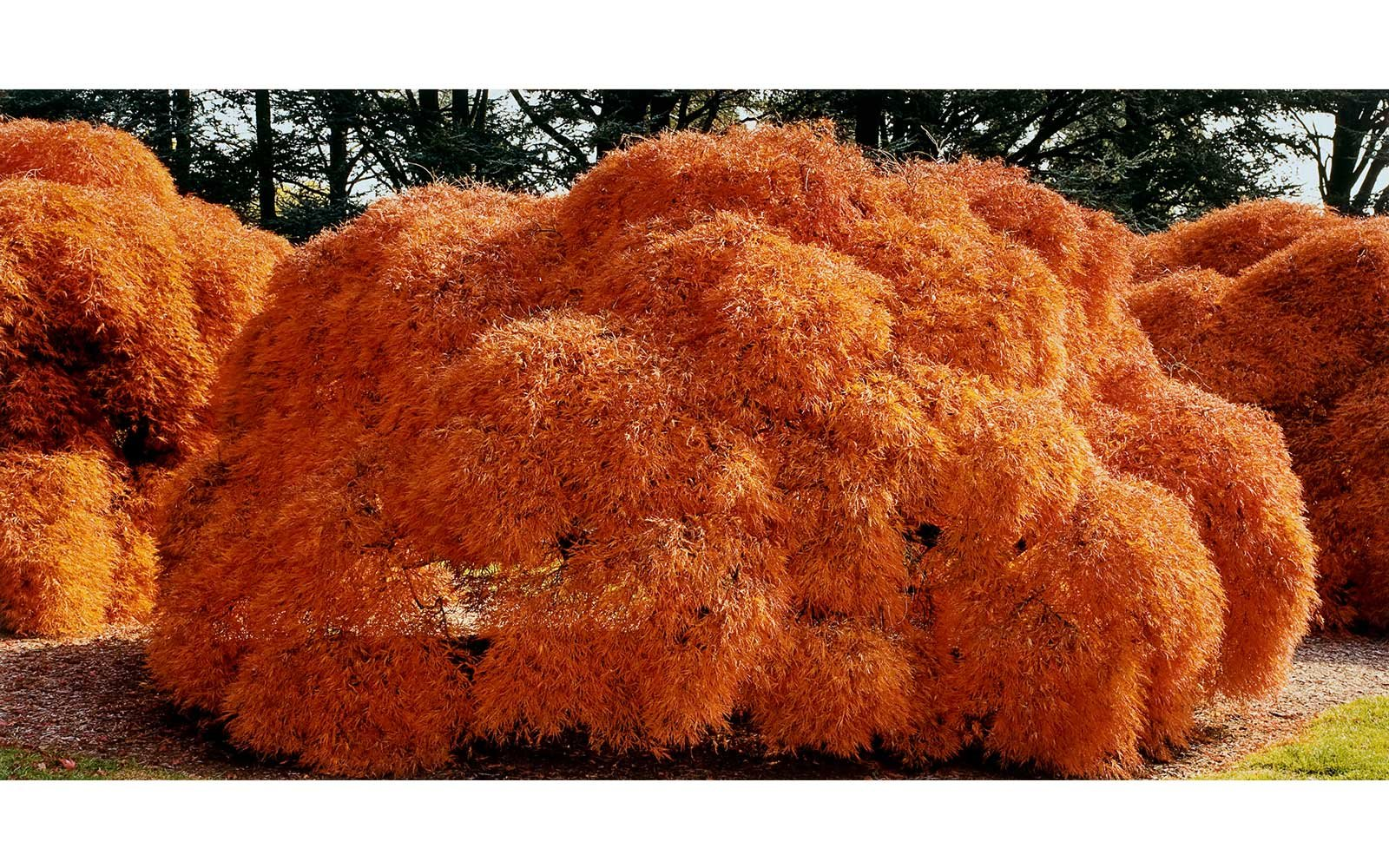John Pfahl, Threadleaf Japanese Maple Tree, Hershey Gardens, Pennsylvania, October 1999; from the series Extreme Horticulture