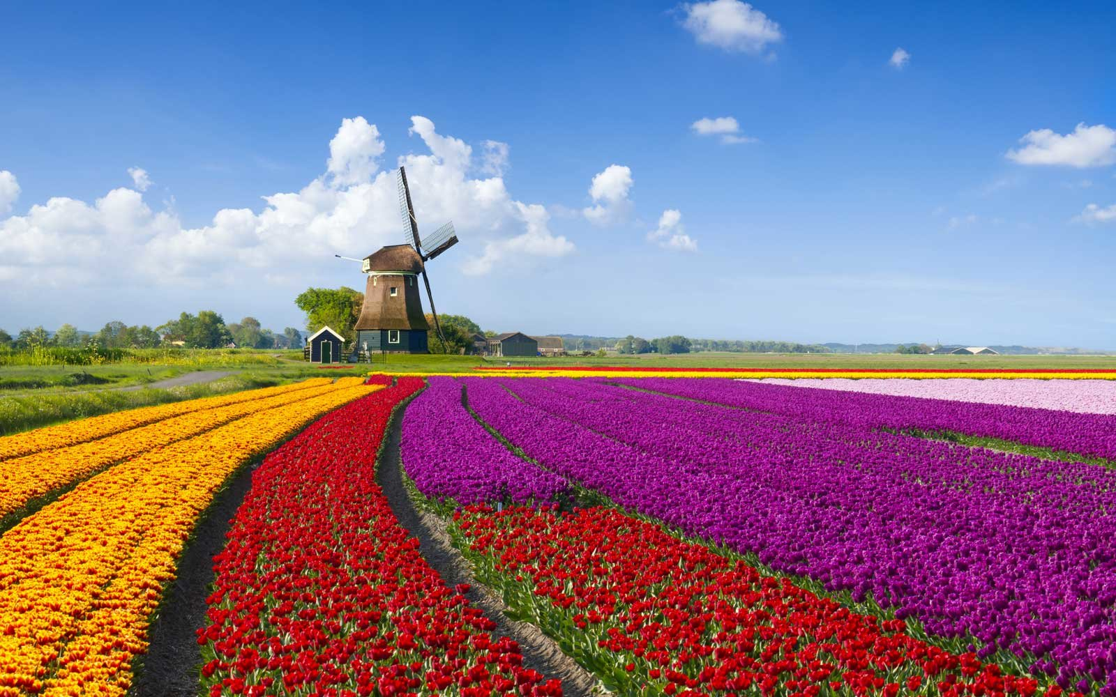Tulips and Windmill in the Netherlands