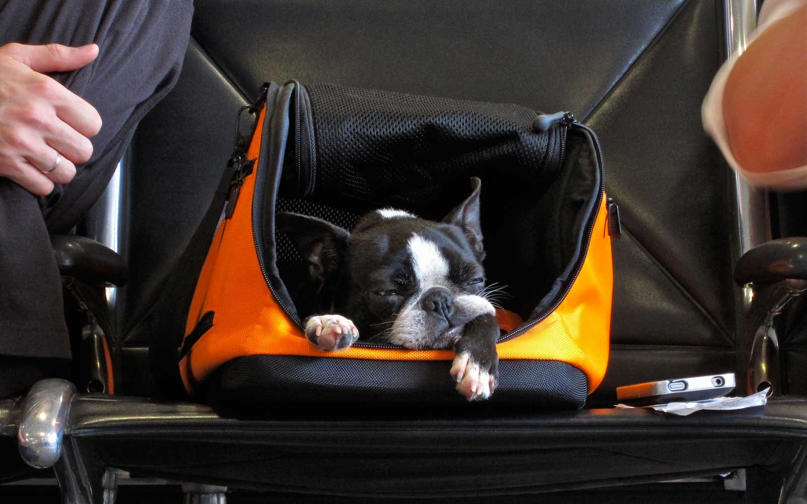 Dog in carry-on container