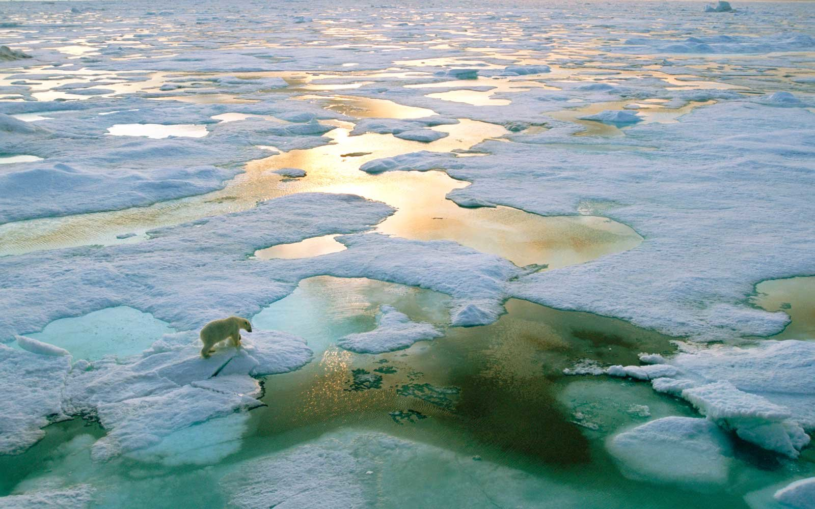 A Polar Bear crosses sea ice pools in the remote Franz Josef Land area of Russia