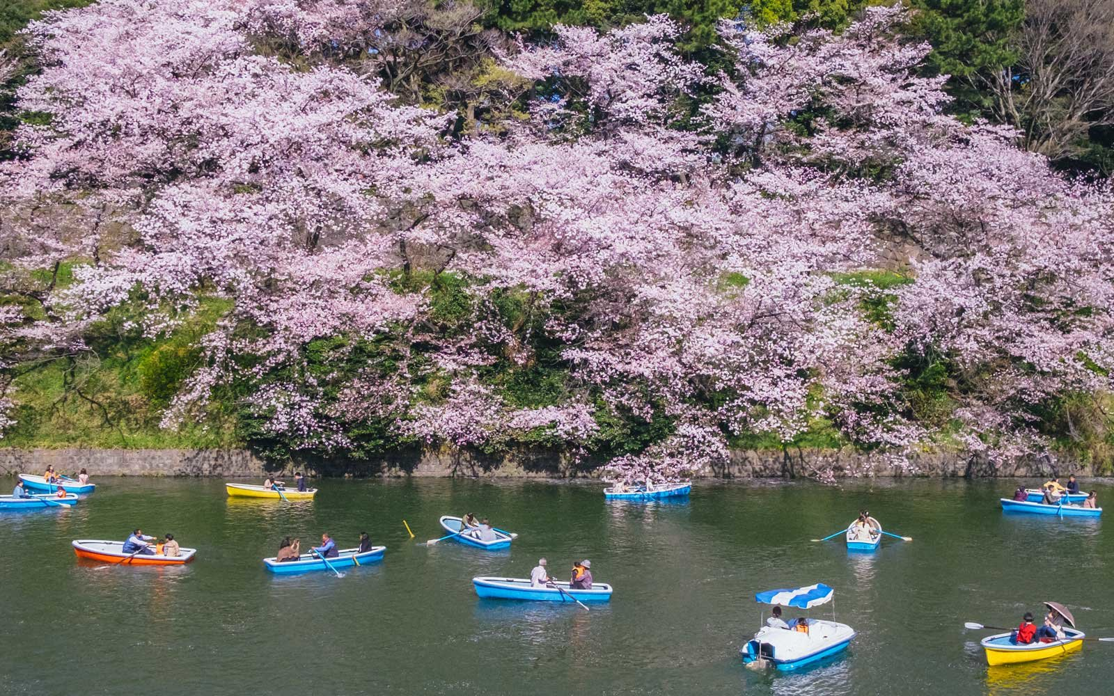 Cherry blossoms are seen in full bloom in Japan.