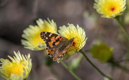 Millions of Colorful Butterflies Are Migrating Across California, And It Looks Magical