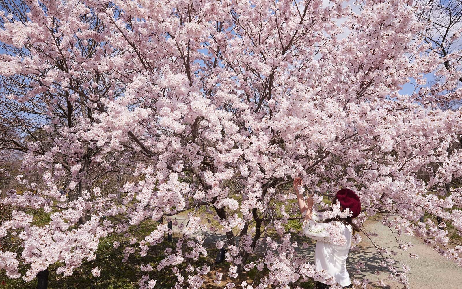 Japan S Cherry Blossoms Are In Full Bloom See The Photos