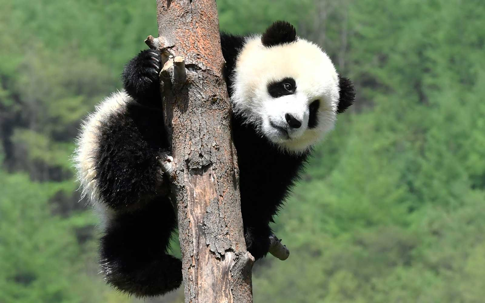 A giant panda cub holds a tree at Wolong Shenshuping Base of China Conservation and Research Center for Giant Pandas on April 23, 2019 in Aba Tibetan and Qiang Autonomous Prefecture, Sichuan Province of China