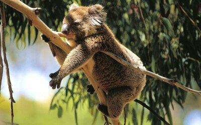 One of the Best Hiking Trails in South Australia Has Koalas