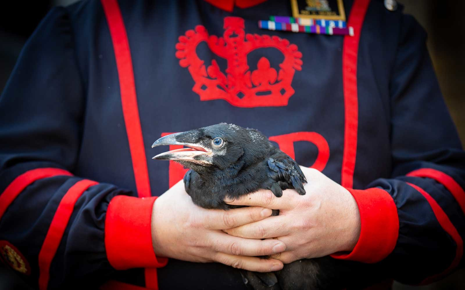 Tower of London Ravenmaster Chris Skaife holds  first baby raven to be born at the Tower in 30 years
