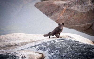 d2d19e388 This Arctic Fox Broke Records by Running All the Way From Norway to ...