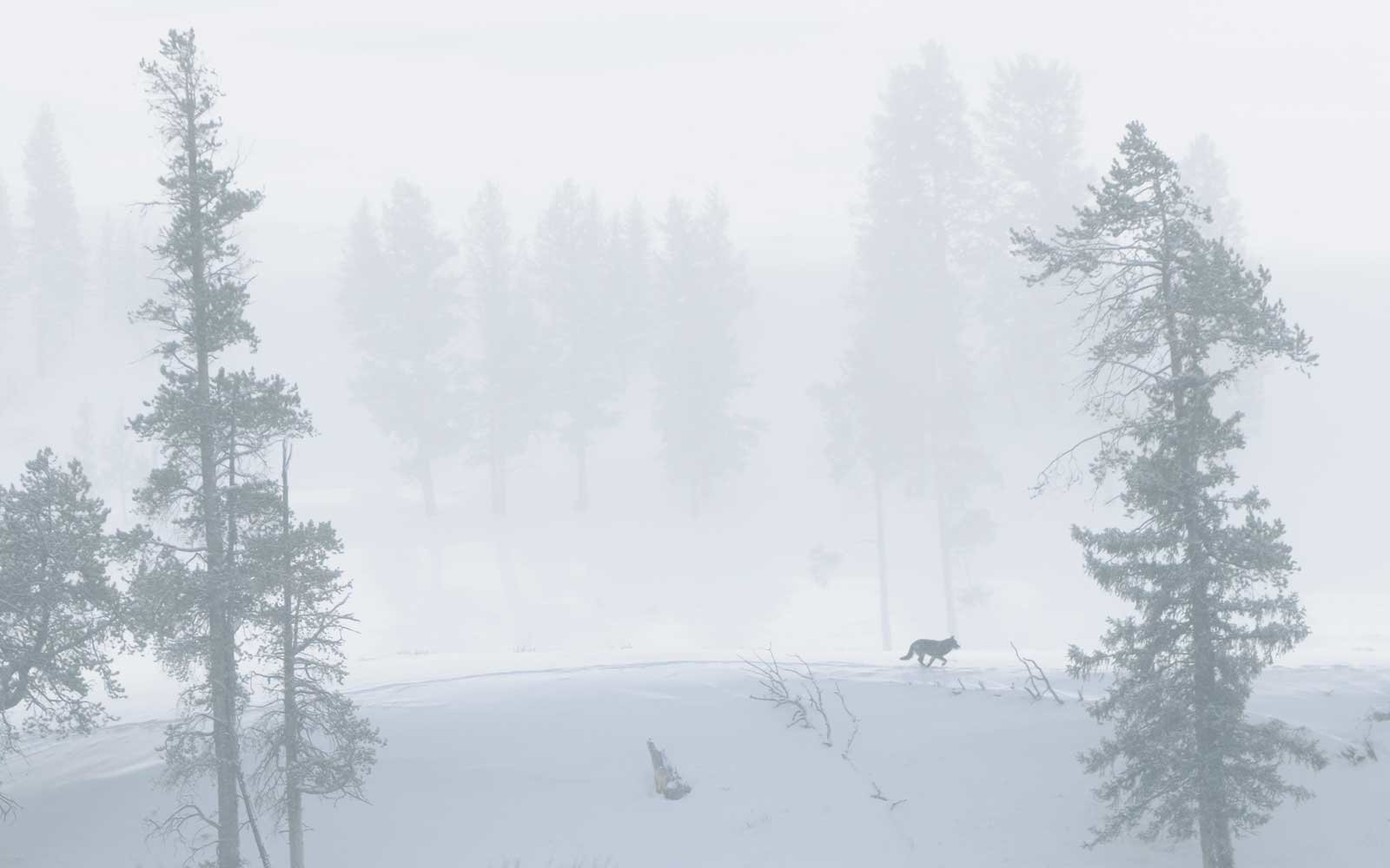 A wolf in Yellowstone National Park