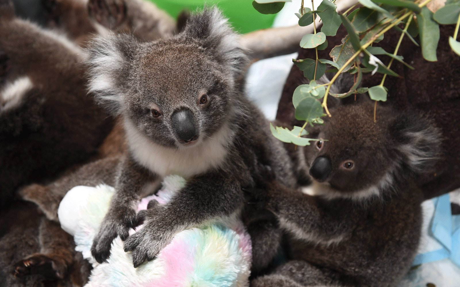 """The viral """"Koala Challenge"""" aims to raise money to fight wildfires in Australia"""