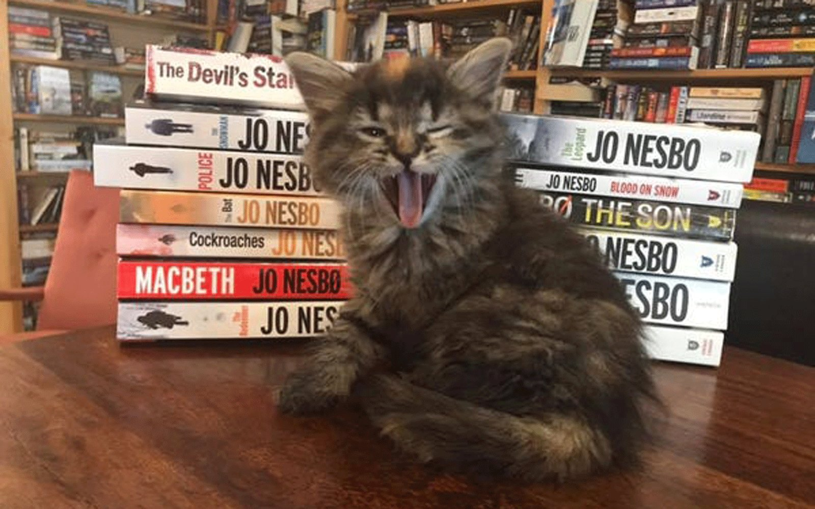 A Bookstore in Canada Is Filled With Adorable Foster Kittens That Customers Can Adopt