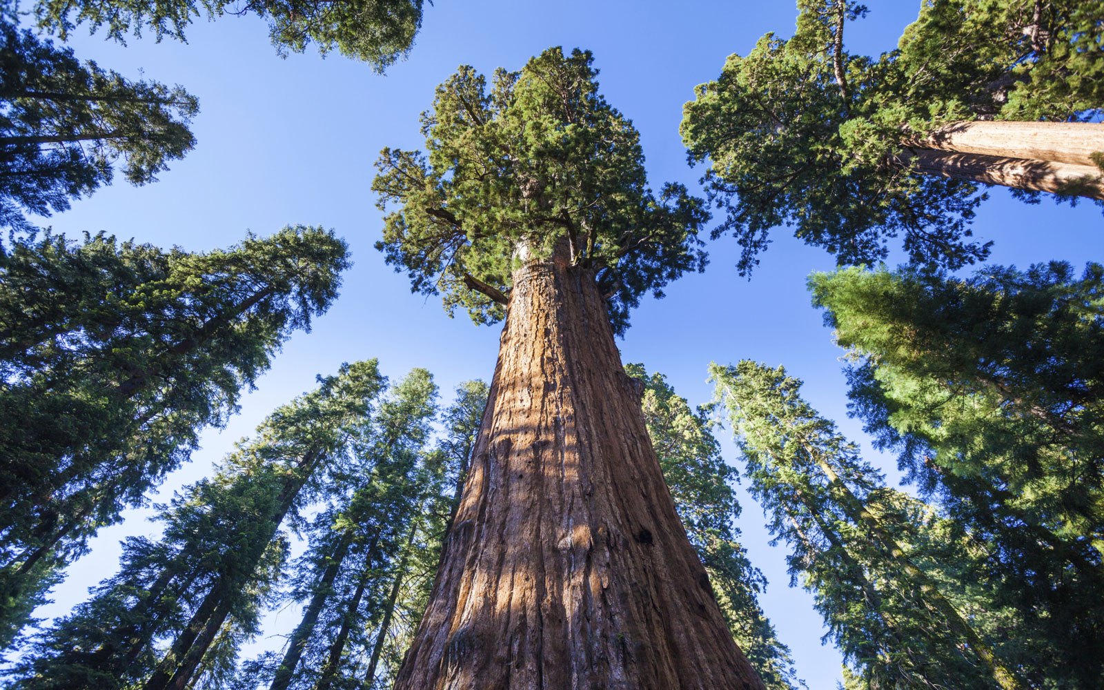 The Giant Forest Sequoia and Kings Canyon National Park, CA