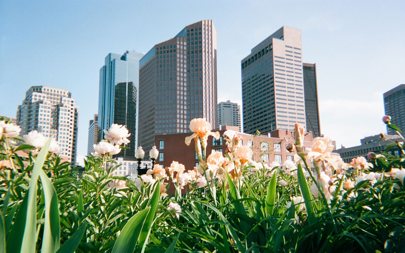 spring flowers in front of the Boston skyline, Massachusetts