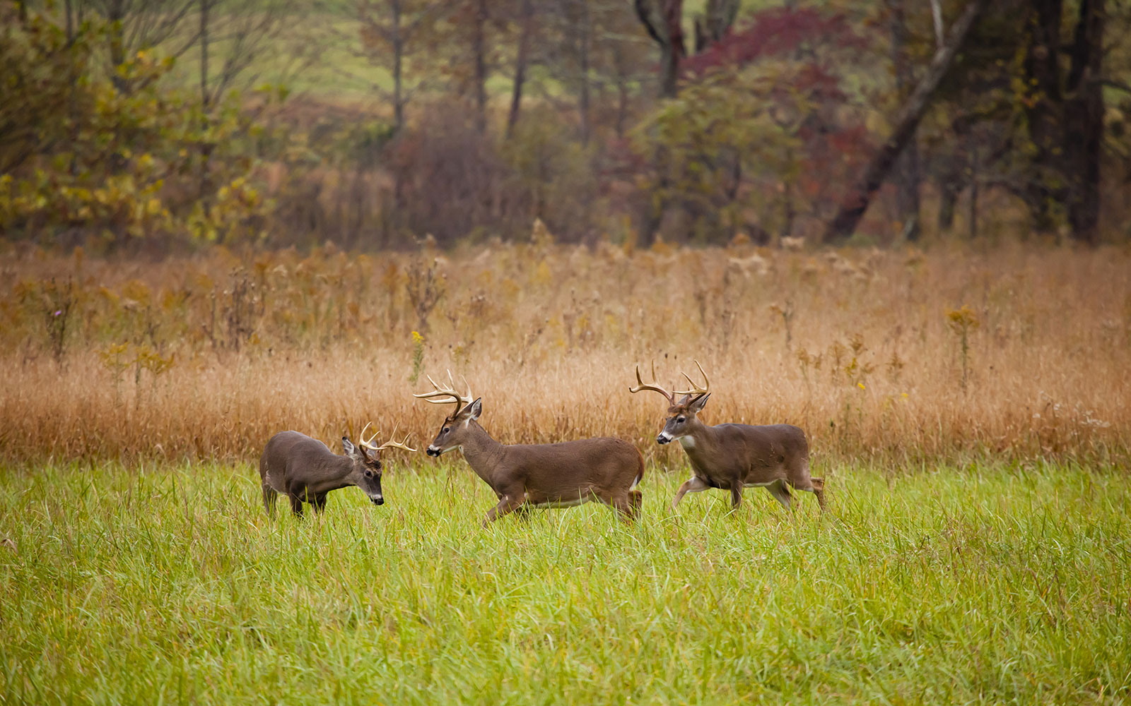 wild deer in a field at Cades Cove in The Smoky Mountains, Gatlinburg, TN