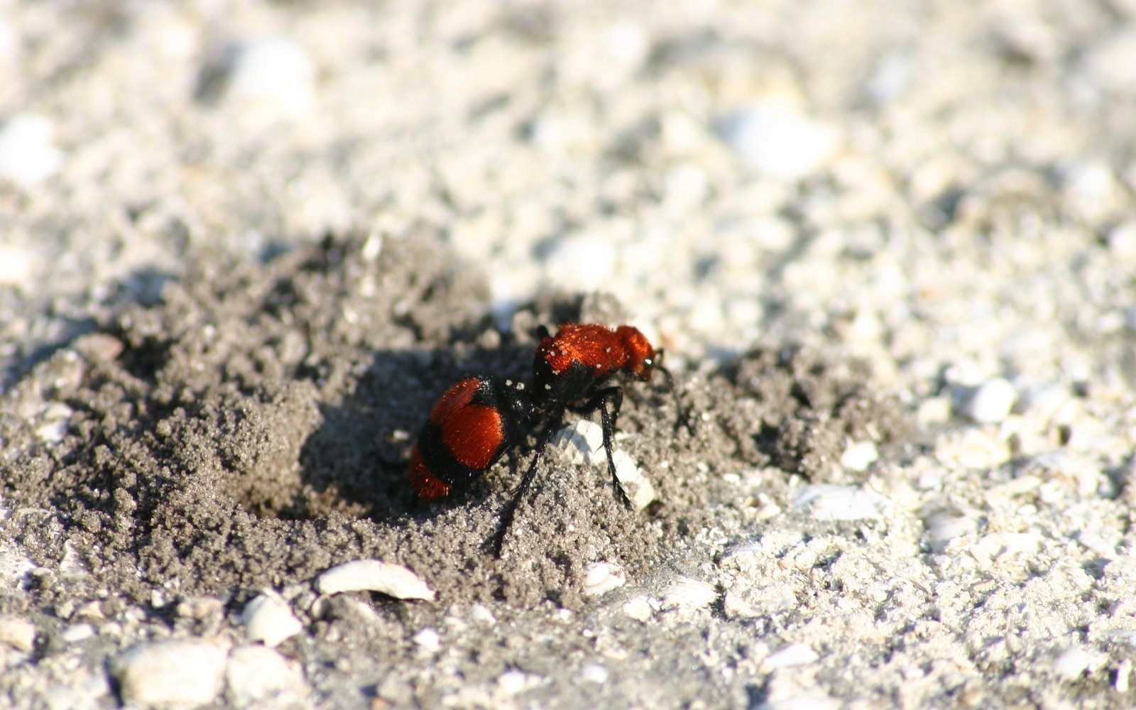 Cow Killer Ant