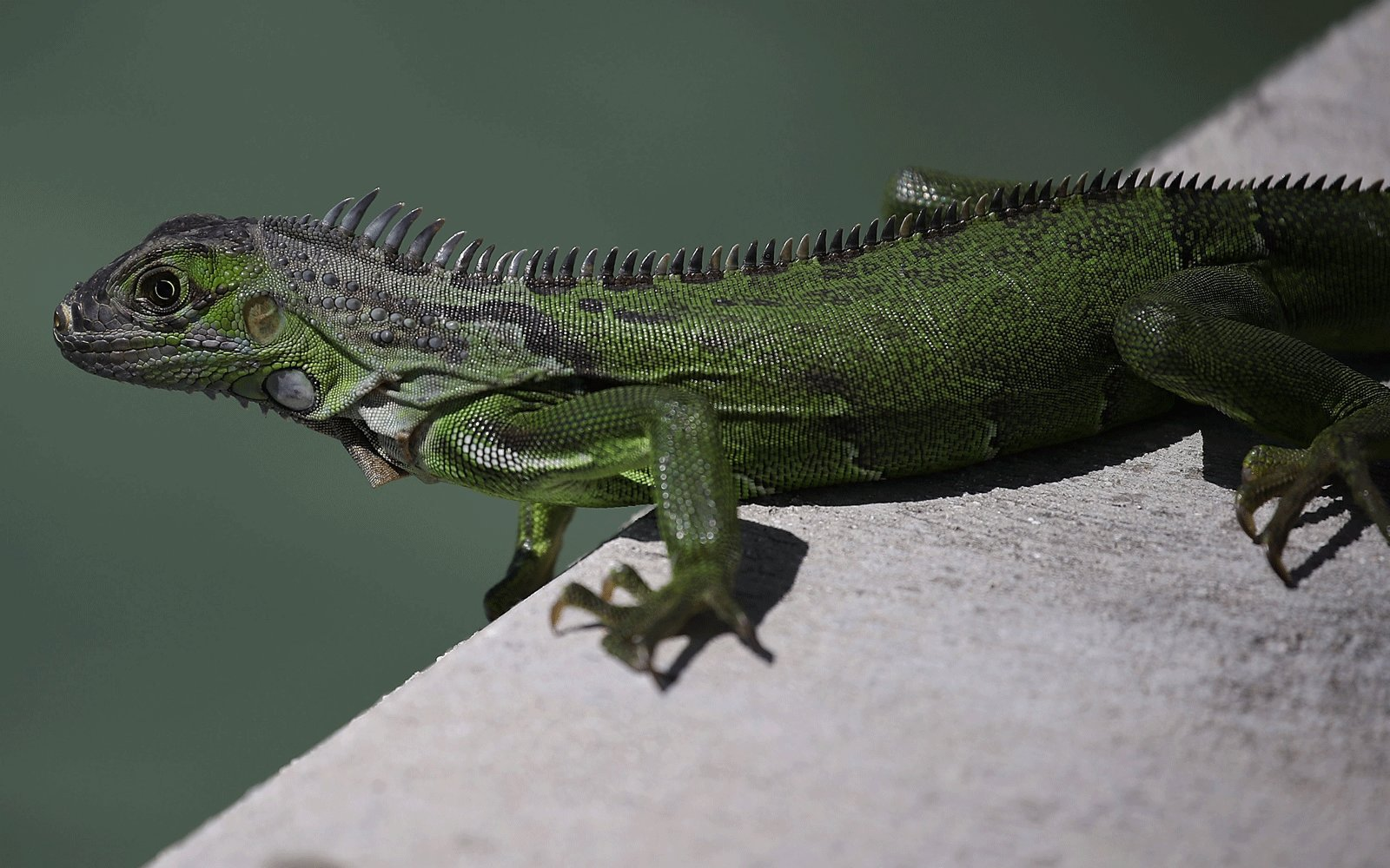 """A """"falling iguana"""" alert was issued in Florida this week. Here's why:"""