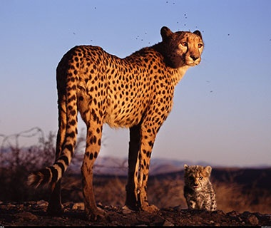 Cheetah and Leopard Safari, Namibia