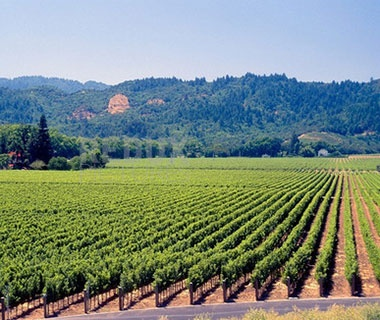 rows of grape vines in top destination California Wine Country