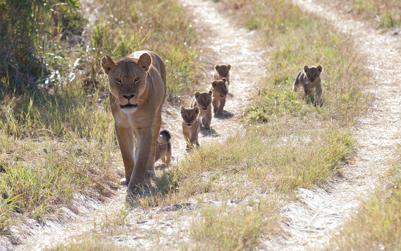 Cecil the Lion's Grand-Cubs at Linkwasha Camp, Zimbabwe