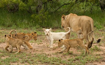 Where to See One of the Only Wild White Lions in the World | Travel