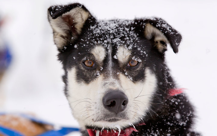 Iditarod danger for dogs low snow levels