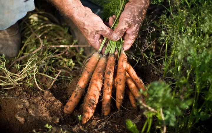 Man Finds Lost Ring On A Carrot