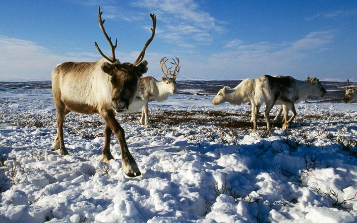 Scientists Fear Climate Change Is Killing the Arctic's Reindeer