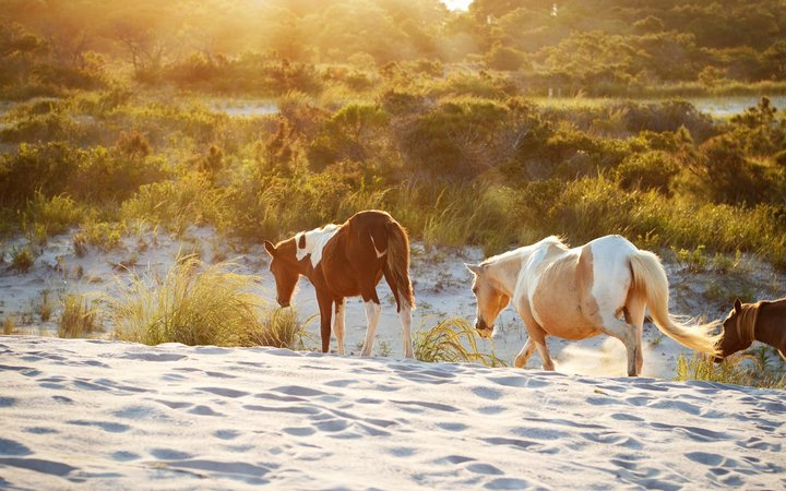 Assateague Island, Horses