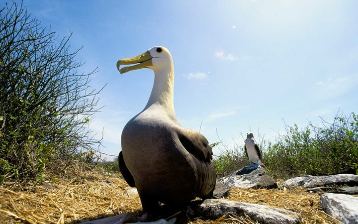 Waved Albatross Galapagos Islands