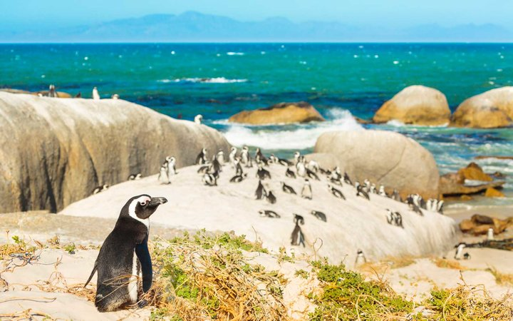 Penguins at Boulders Beach nature reserve near Simon's Town (Cape Town, South Africa).