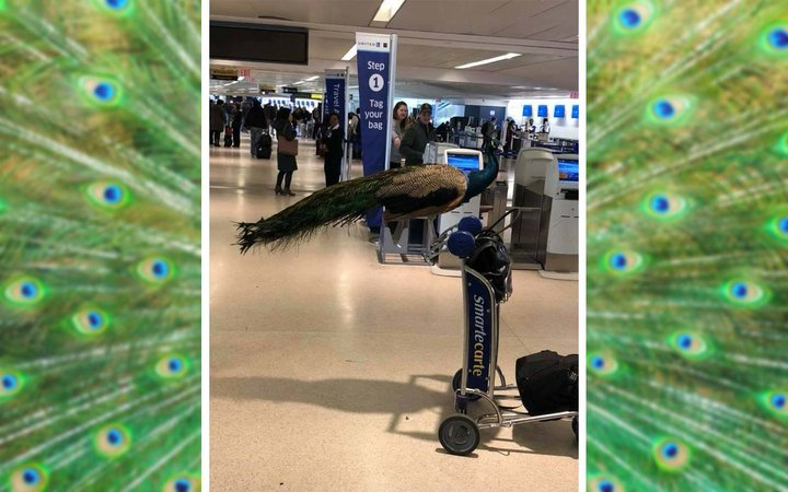 Emotional Support Travel Peacock Animal Newark Airport