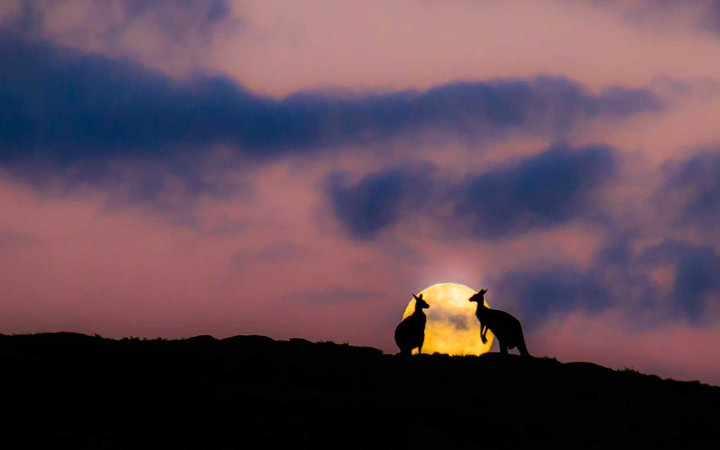 Kangaroos at moonrise in Margaret River