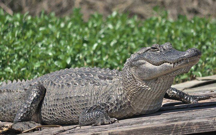 Large Alligator Basking in the Sun