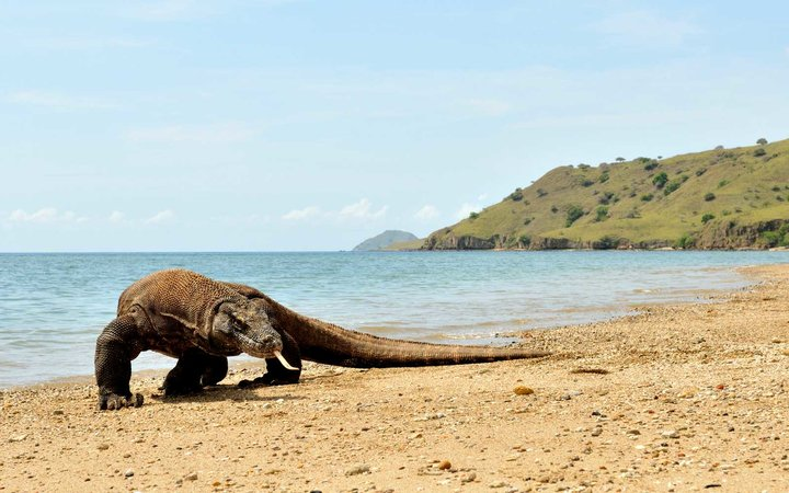 The Komodo dragon (Varanus komodoensis), also known as the Komodo monitor, is a large species of lizard found in the Indonesian islands of Komodo, Rinca, Flores, Gili Motang and Gili Dasami.