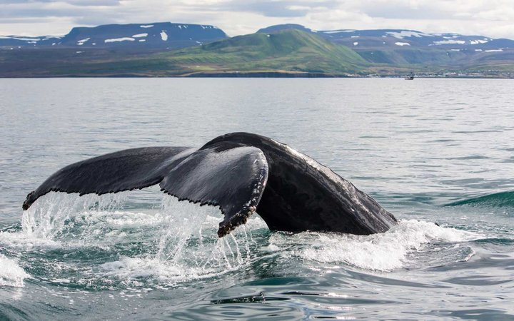 Humpback whale diving in Husavik, Iceland