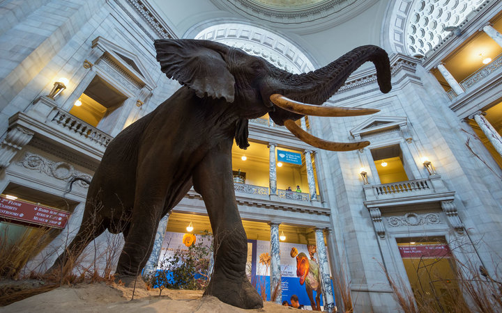 African elephant exhibit in the Rotunda of the National Museum of Natural History.