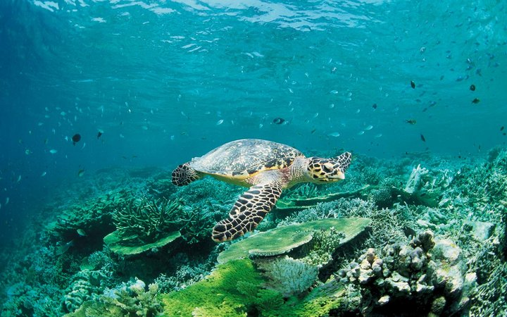 Photography of a sea turtle swimming, Low Angle View, Republic of Maldives