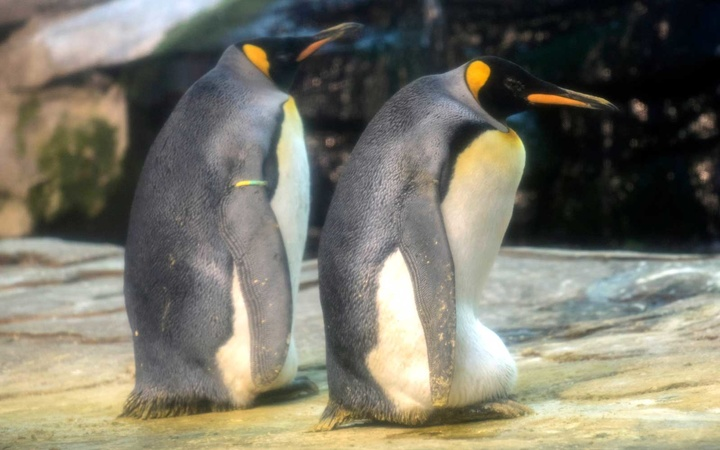 Gay King Penguins Adopt Egg at Berlin Zoo