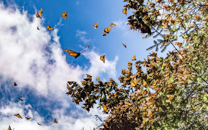 Monarch Butterfly Biosphere Reserve in Michoacan, Mexico, a World Heritage Site