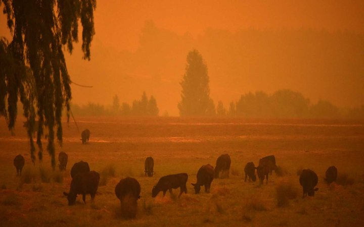 Cattle graze as the sky turns orange from bushfires in Towamba, 20km from Eden in southern New South Wales on January 10, 2020.