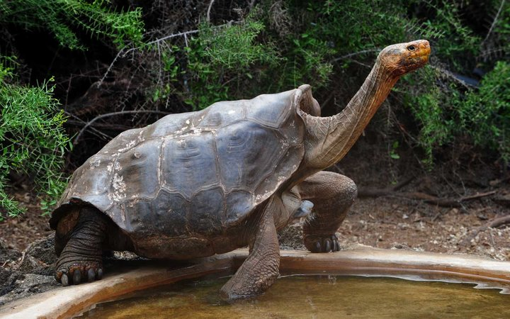 Tortoises  Diego , a species of the Española Island giant tortoise species, is pictured in a breeding centre at the Galapagos National Park in Santa Cruz Island, in the Galapagos archipelago, located some 1,000 km off Ecuador's coast, on June 4, 2013