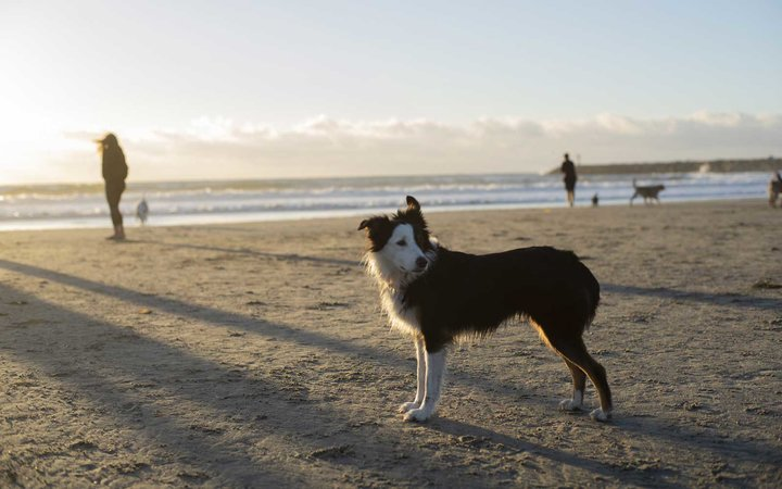 Border Collie on the beach in San Diego
