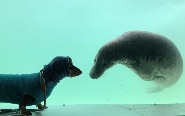 Photo show sausage dog Stanley and rescue seal Aayla rub noses through the glass before both gazing stoically into the camera.